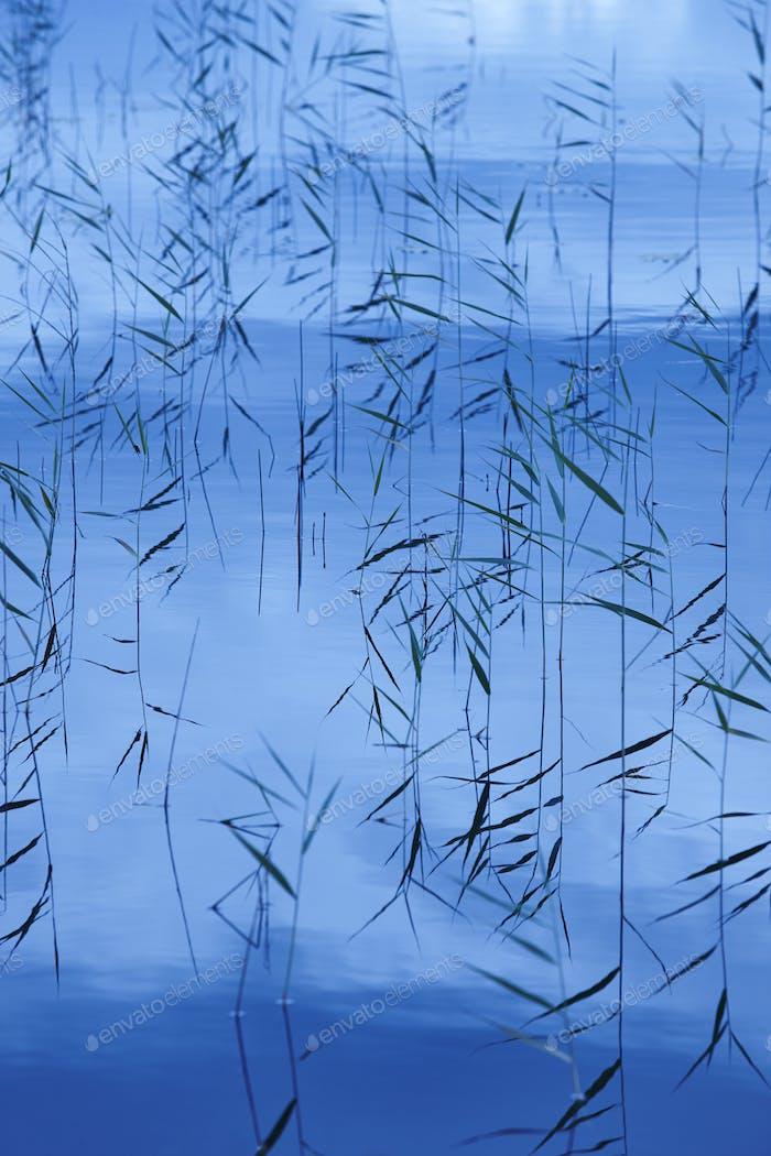 Junks plants on a pond. Blue light. Nature background. Vertical