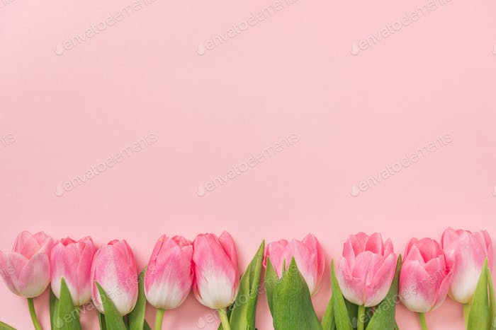 pink tulips arranged in row on pink background with copy space