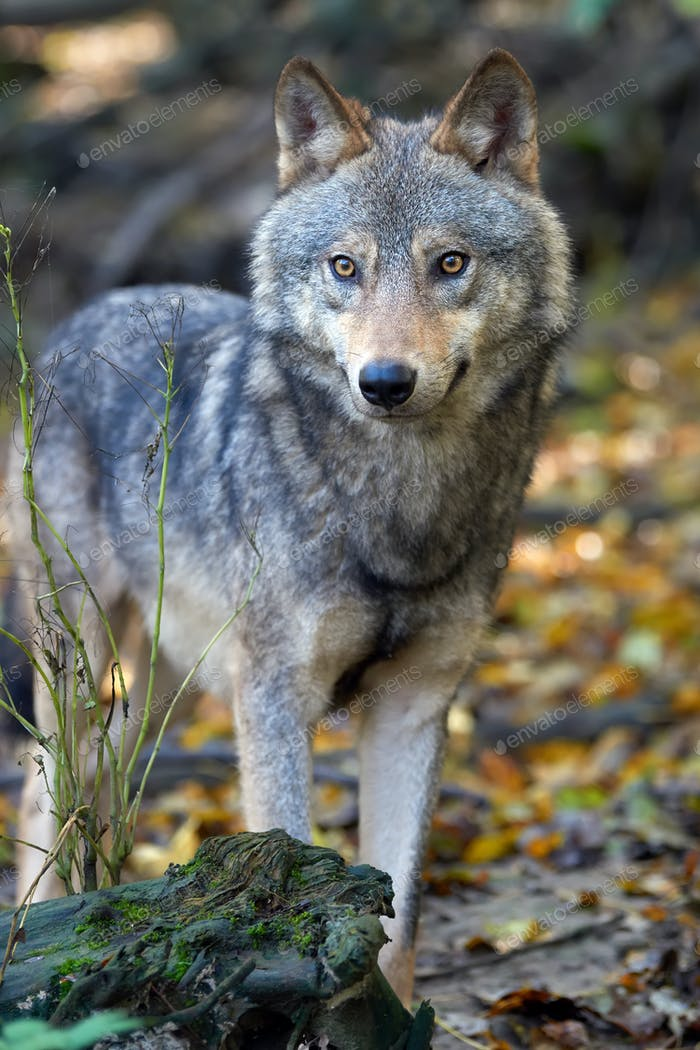 Wolf Jagd im Wald