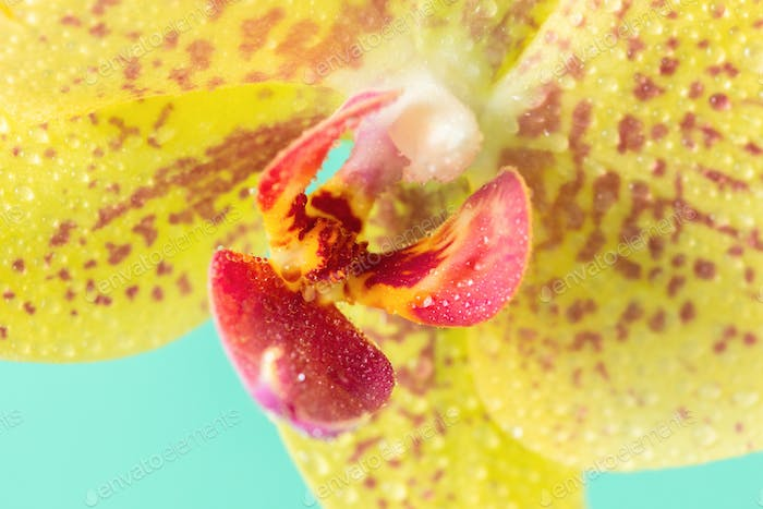 Extreme Macro droplets on orchid Yellow color.Floral Background.Phalaenopsis.Close up.