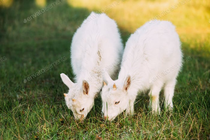Two Kid Goats Grazing On Green Summer Grass On A Sunny Day