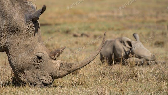 critically endangered Black Rhinoceros, Diceros bicornis, also c