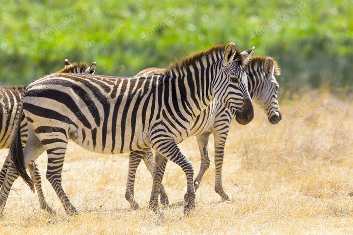 Beautiful zebras walking at the vast plains in Africa