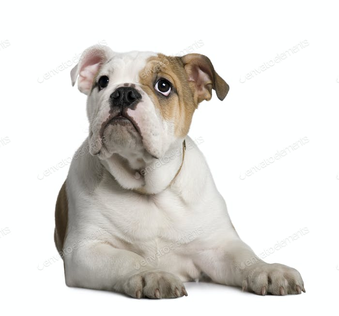English Bulldog puppy, 3 months old, lying in front of white background