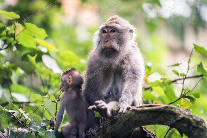 Portrait of an Adult Monkey in Monkey Forest, Ubud, Bali