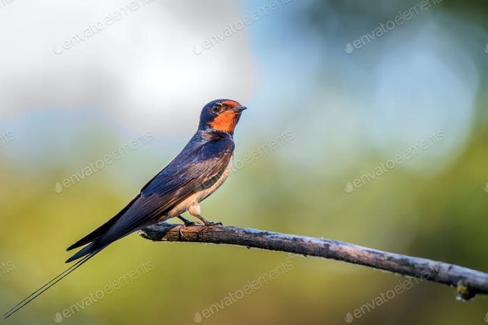 Barn Swallow or Hirundo rustica sits on tree