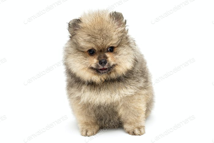 Little Pomeranian puppy