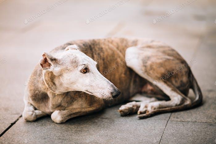 Sighthound dog is lying on street sidewalk