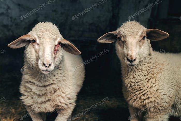 Schaf Lamm in Bauernstall