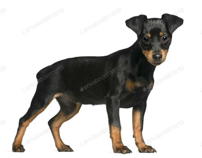 Miniature Pinscher puppy, 5 months old, standing in front of white background