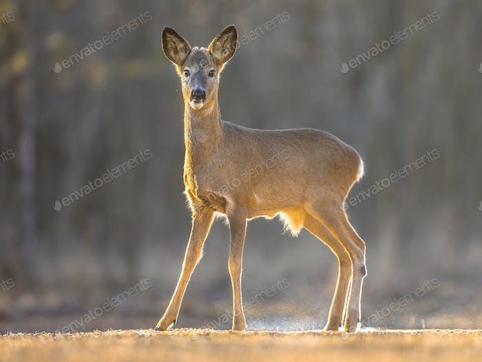 Roe deer looking on clearing