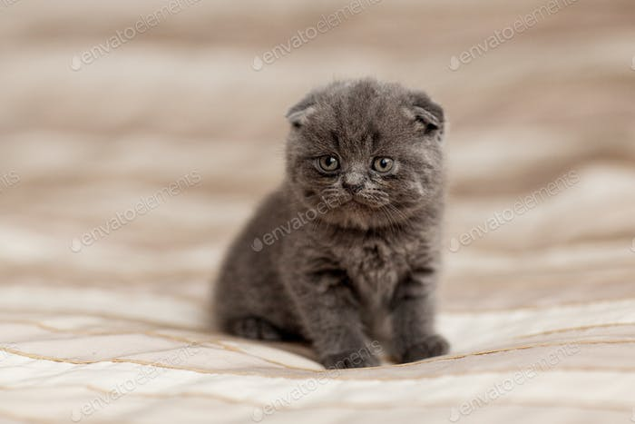 British gray kitten sits on a plaid