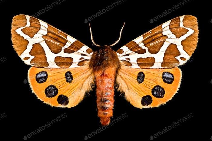 Butterfly, Arctia Caja