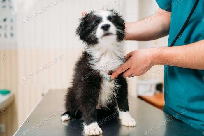 Male veterinarian examining dog, veterinary clinic