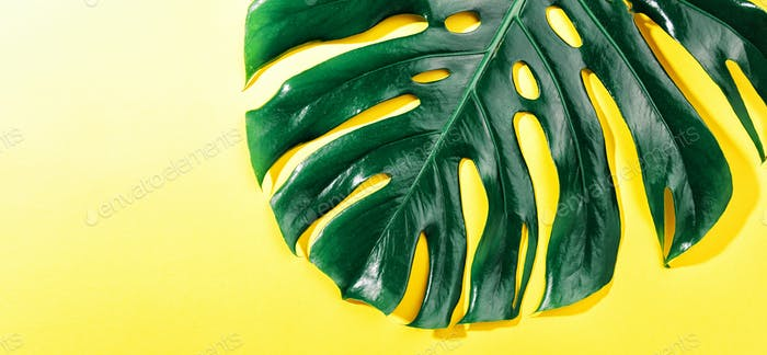 Monstera green leaf on yellow