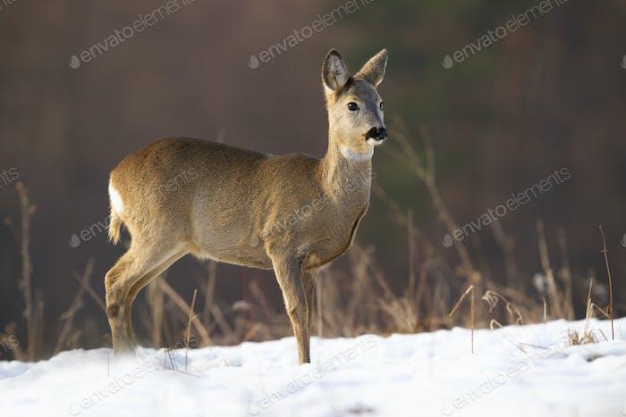 Innocent roe deer doe standing on meadow in winter