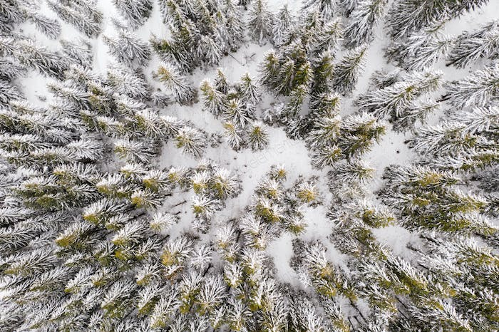 Aerial drone top down fly over winter spruce