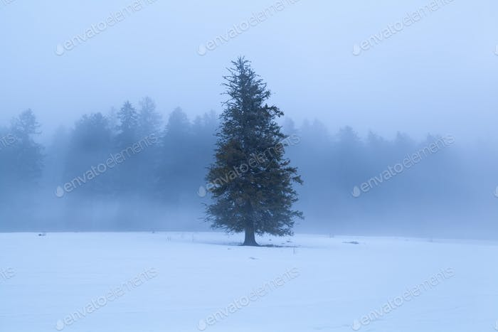 spruce tree during winter foggy morning