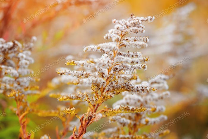 Goldenrod (Solidago canadensis) with dry seeds in a fall meadow.