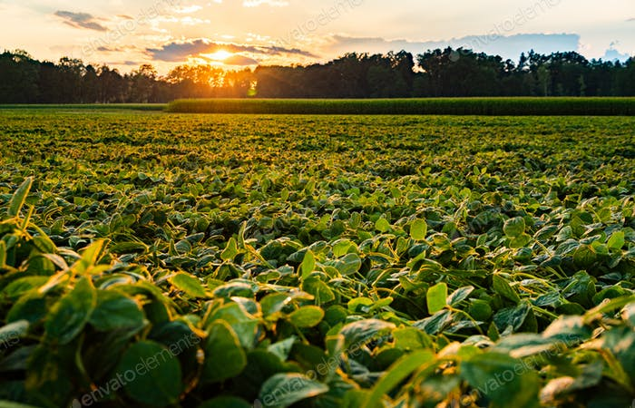 Rural landscape with fresh green soy field in sunset