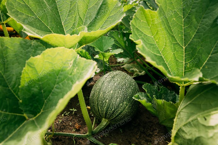 Ripe Green Zucchini Or Courgette In Summer Garden