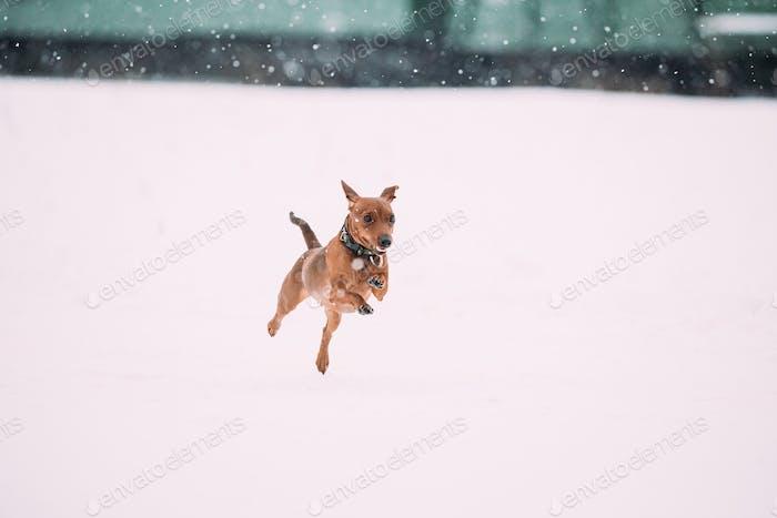 Funny Dog Red Brown Miniature Pinscher Pincher Min Pin Zwergpinscher Playing And Running Outdoor