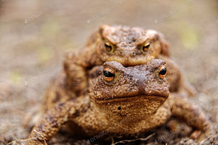 Common toads in the course of the copulation.View from the front