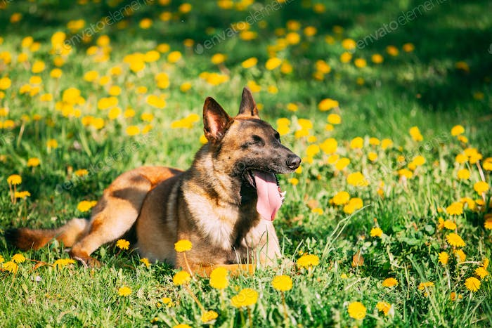 Malinois Dog Sitting Outdoors In Green Spring Meadow With Bloomi