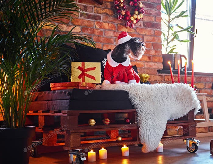 Schnauzer dog dressed in Christmas clothes in a loft interior room.