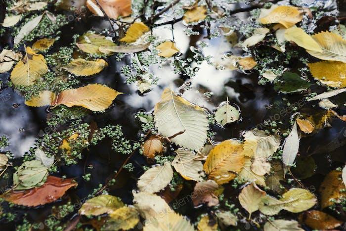 Autumn leaves floating on lake surface background