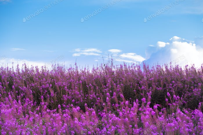 Beautiful Purple Flowers and blue sky