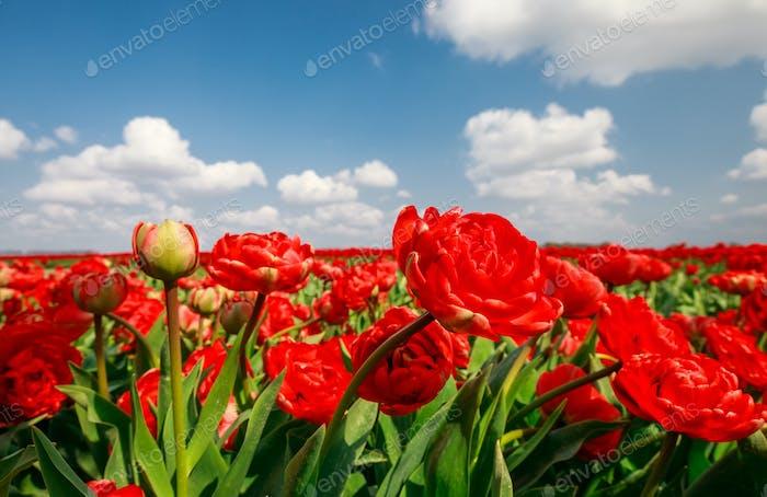 schöne rote Tulpen über blauem Himmel außerhalb