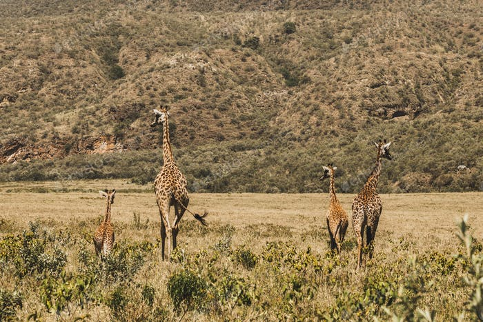 Family of giraffes walking in Kenya national park in Africa. Amazing wild life of animals.