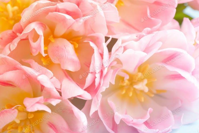 Beautiful Pink Peony Tulips. Spring Flowers.