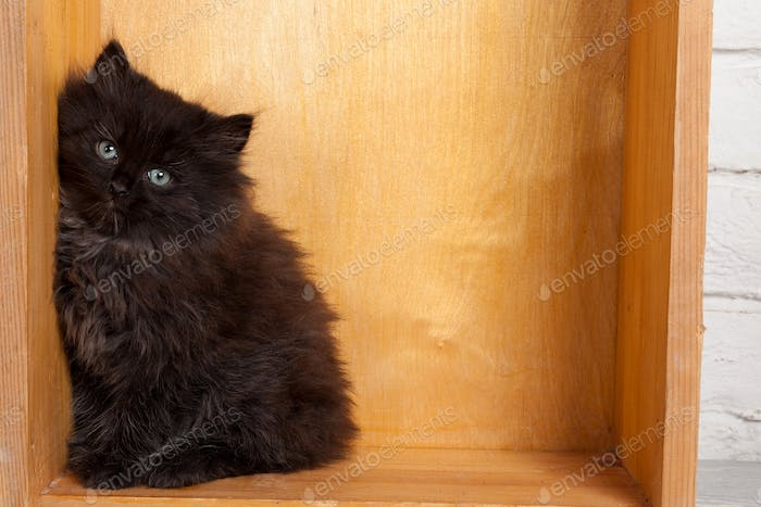 Young black fluffy kitten