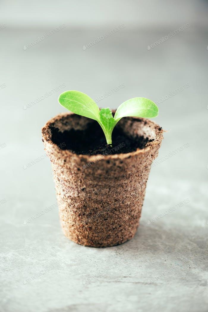 Sämlinge in Torftöpfen. Babypflanzen Aussaat Frühlingspflanzung. Frühe Sprossen, aus Samen in