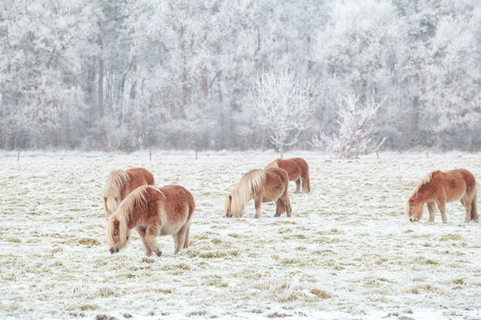 few pony grazing on snowy pasture