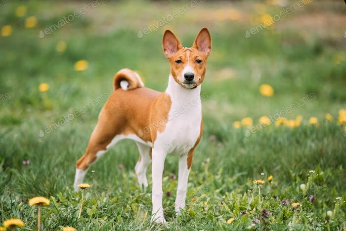 Basenji Kongo Terrier Dog. The Basenji Is A Breed Of Hunting Dog