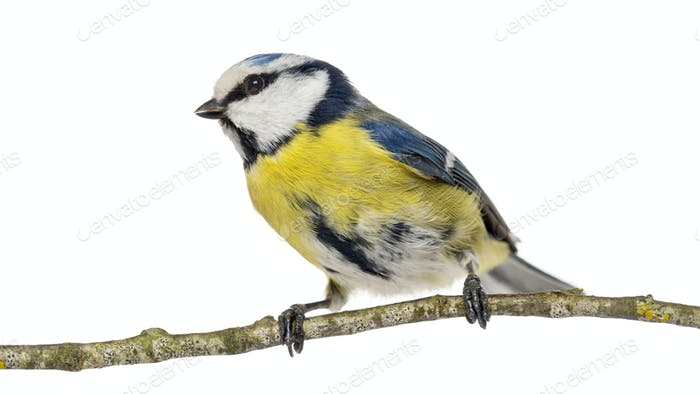 Blue Tit perching on a branch, Cyanistes caeruleus, isolated on white