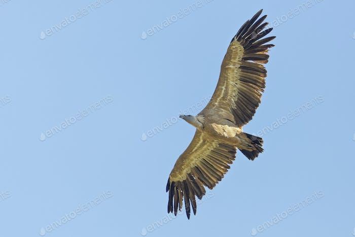 Gänsegeier, Gyps fulvus, Griffon Vulture