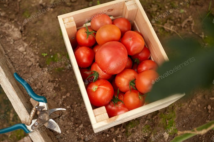 red tomatoes in wooden box at summer garden