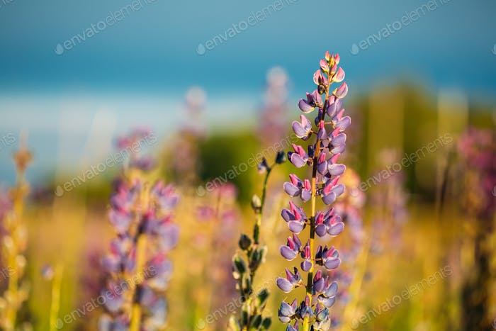 Wild Flowers Lupine In Summer Field Meadow. Close Up. Copyspace.
