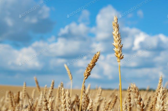 Weizenfeld unter bewölktem blauen Himmel in der Ukraine