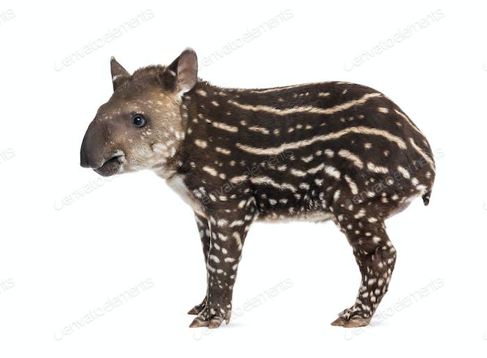 Seitenansicht eines jungen südamerikanischen Tapir, isoliert auf weiß, 41 Tage alt