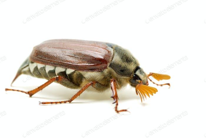 May-bug (tree beetle, Melontha Vulgaris)
