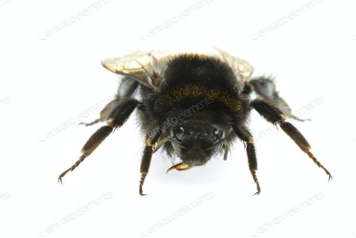 """Bumblebee """"portrait"""""""