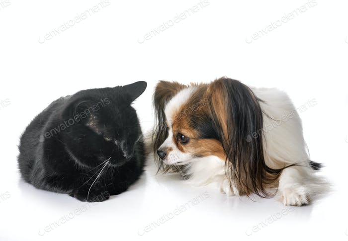 papillon dog and cat
