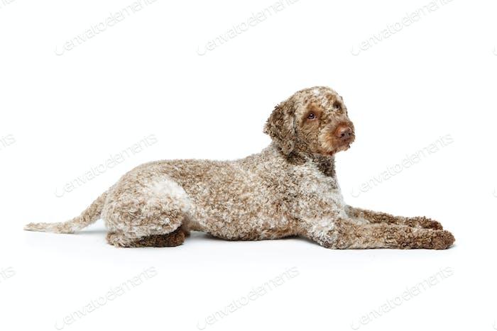 beautiful lagotto romagnolo dog on white background