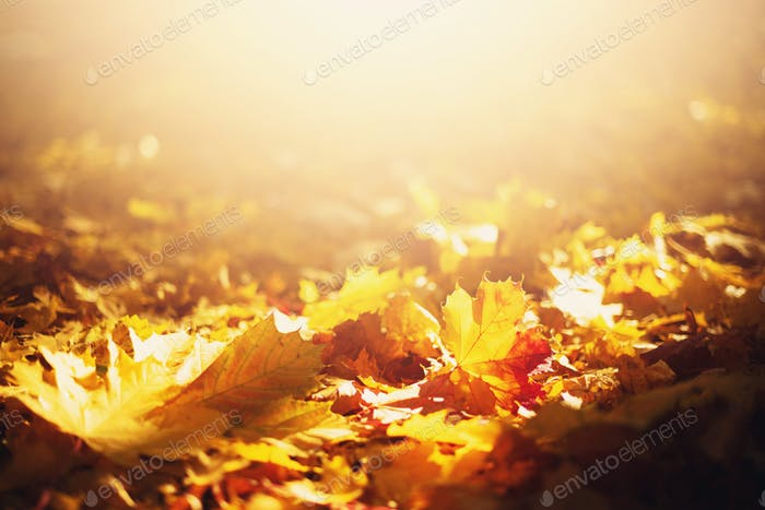 Autumn leaves background. Yellow maple leaf over blurred texture with copy space. Concept of fall