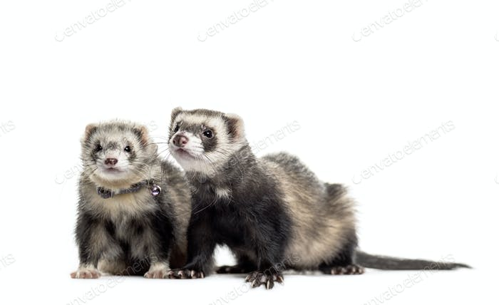Two Ferrets on white background, studio photography